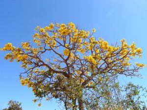 Rumeno cvetoči ipe'